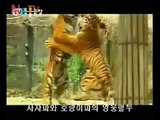 Tiger vs African lions, TIgers are dominating male lions.