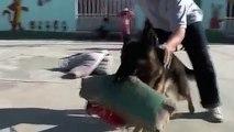 köpek saldırı eğitimi