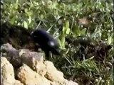 Artrópodes - Inseto rola bosta/Trabalho de Biologia 2011