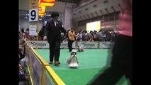 FCI JAPAN INTERNATIONAL DOG SHOW 2010 shih tzu