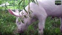Why Pigs have to life on medows! / Warum Ferkel und Schweine auf die Wiese gehören!
