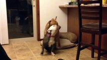 Red Nose Pit Bull gets owned by female olde English bulldogge and loses his bed