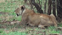 Lioness hunting in Serengeti - Lions gather to hunt in Serengeti