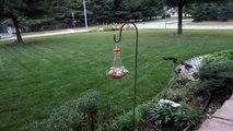 Hummingbird Moth & Hummingbird at Hummingbird Feeder