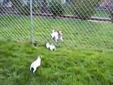 Parson Jack Russell Maggie teaches her puppies tug of war!