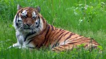 Siberian Tiger Elena moved from Munich to Zurich Zoo - Pelican Chickie hatched