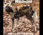 Wildhund Tiere Animals Natur SelMcKenzie Selzer-McKenzie
