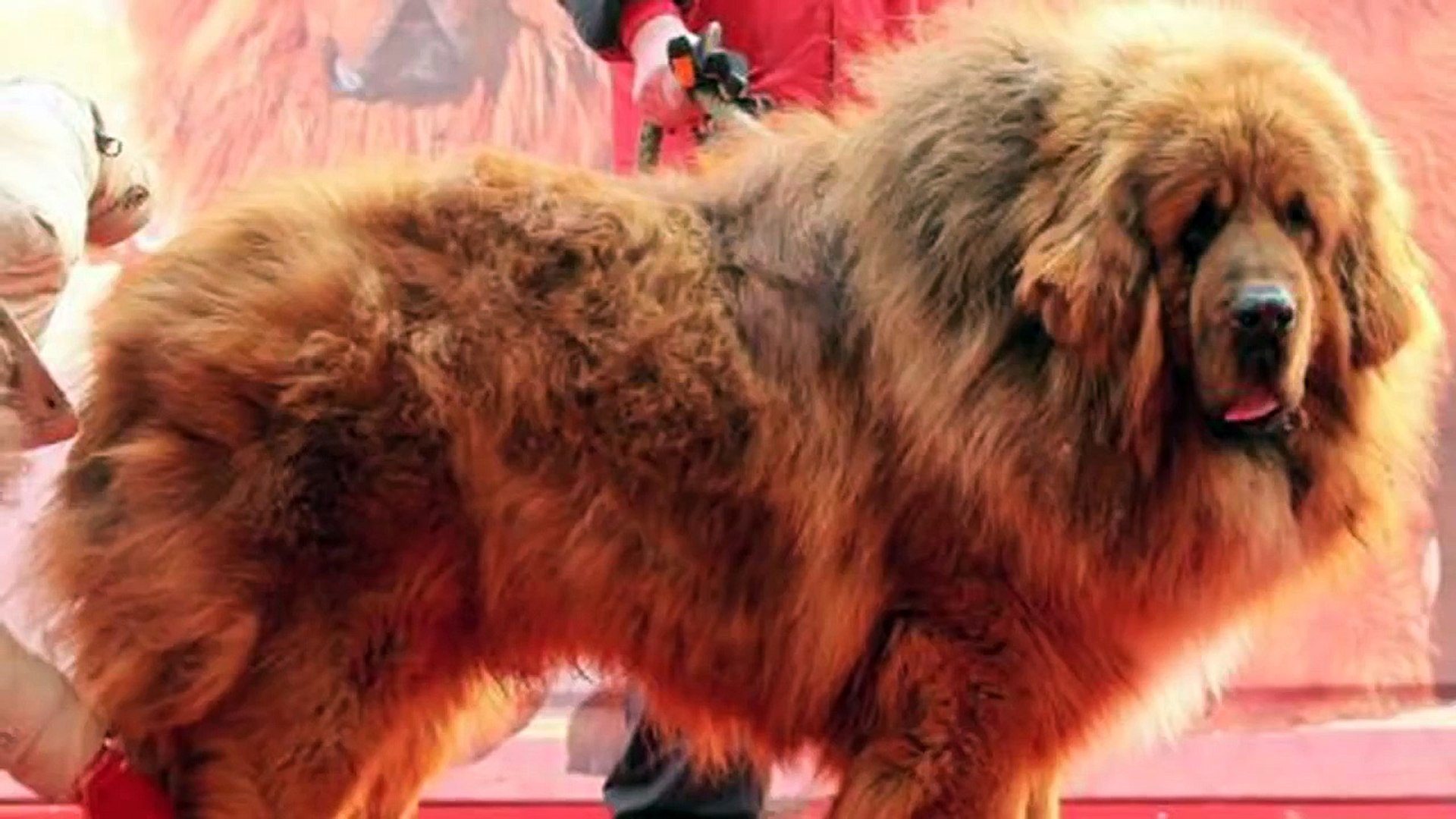 Red Tibetan Mastiff The Most Expensive Dog In The World Video Dailymotion
