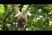 Crónicas de la Vida Silvestre - Especies Amenazadas - Titi cabeciblanco
