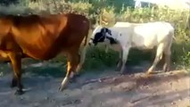 Vaca y Toro Follando FAIL