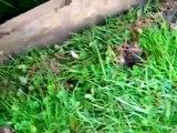 Plummer Terrier Bolt, Ratting in Oxfordshire...