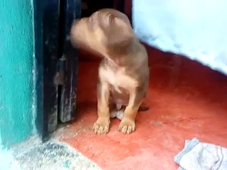 Cachorro Rottweiler Ladrando (Kafu)