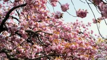 Celebrating Spring with Japanese Cherry Blossoms: A Brooklyn Tradition | MetroFocus