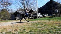 SOLD! padded tennessee walking horse for sale