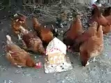 Chickens eat gingerbread house