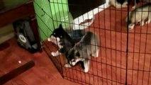 5 week old Siberian Husky Puppies!!!