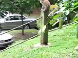 Long Tailed Macaques