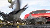 Seagulls Eating Popcorn [HD]