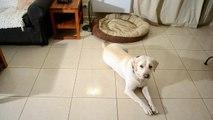Comment dresser son chien/chiot : apprendre à son chien aller et rester dans son panier.