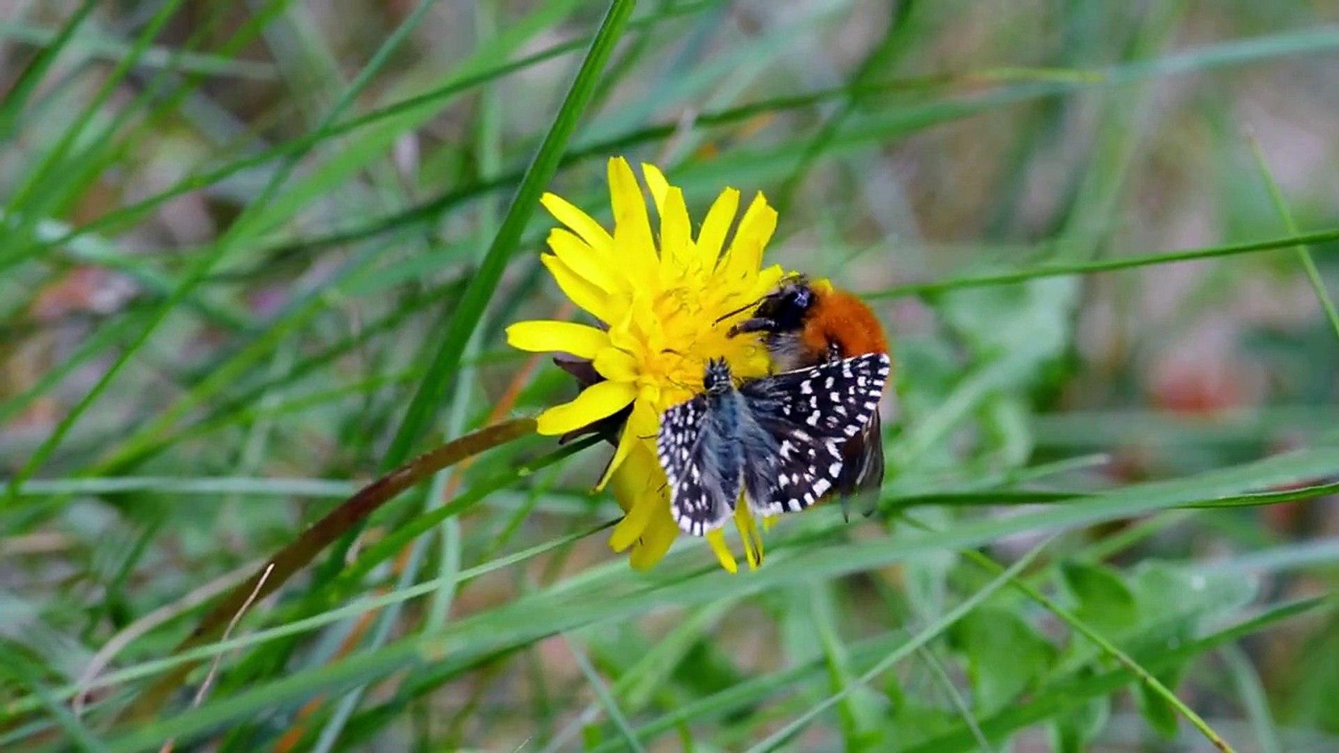 Vroege Vogels - Vlinder en hommel vechten om bloem
