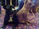 the worlds 3 best staffies MAX SHADY N KEILA