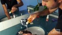 ¿Se puede bañar un huron? Cuidar a un hurón alarga su vida.