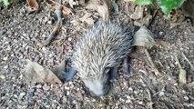 Bébé hérisson dans mon jardin. Baby hedgehog in my garden.