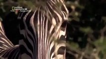 Animal Planet 2015 Discovery Channel Wildlife Animals Lion Documentary 720 HD