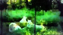 National Geographic Wild 2014 Royal Family White Lions Roar Full Documentary Wildlife HD