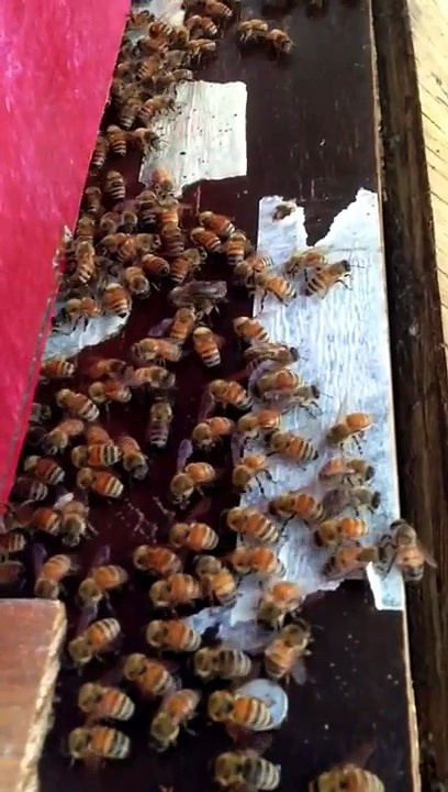 Honey bee waggle dance in Loomis CA
