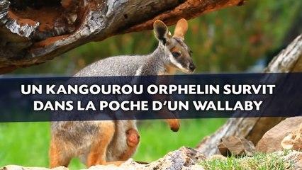 Insolite  un bébé kangourou orphelin survit dans la poche d une mère wallaby  (VIDÉO) - La Voix du Nord 043da138589