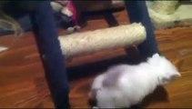 PERSAS, cuatro gatitos persa blancos, con un mes dan los primeros pasos