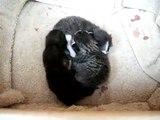 Mes bébés chatons! Un jour et demi à peine.