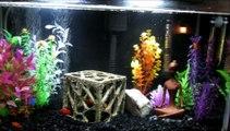 10 gallon aquarium tank with platies and a betta.