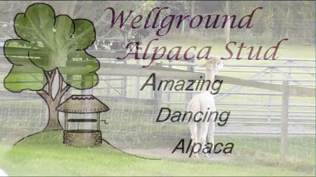 Amazing Dancing Alpaca - Strictly Come Dancing with Alpacas - Bratton's Got Talent.