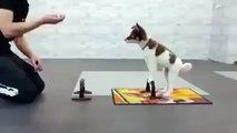 Un chien qui fait des pompes