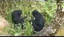 Lola ya Bonobo: the world's first bonobo release