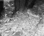 SWR Uhu Webcam 04.05.2013: Das Uhu-Männchen balzt in der Brutnische