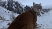 Hippy mother Mountain Lion - Natural World  Mountain Lions  Big Cats in High Places - BBC Two