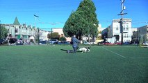 Amazing Pit Bull terriers disc & frisbee