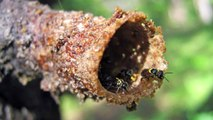 Amazing Tunnels of the New Austroplebeia cincta Stingless Bees