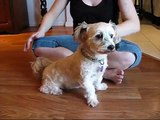 Ben, Maltese x Shih Tzu dog-has found a home!