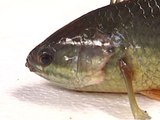 Australian Walking Fish Lives Up To Its Name | Mashable