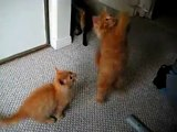 Playful Fluffy Orange Tabby Kittens vs. The Feather
