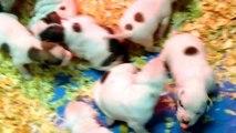 """Jam Up Bulldogs """"Ambush x Tawny pups. 2 and a half weeks old."""