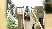 Cute Alert! Cuddly pandas line-up to get on a slide