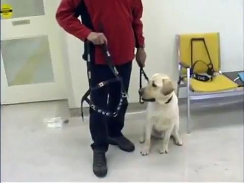 Guide Dog Training : Guide Dog Training: Harness