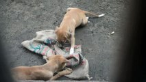 Cute Little Indian Puppies Barking and Playing with Jute Sack #1