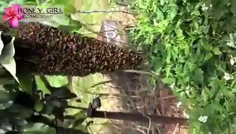 Honey Bee Swarm – Honey Girl Organics Bee Swarm Capture