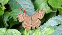 Schmetterling Junonia iphita